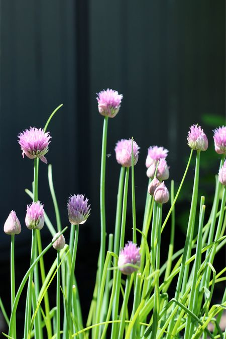 Gardening today! 🧑🌾 Gardening is such a relaxing yet slightly productive way to spend time outdoors 💕 and these chives are easy to grow too!! 🙌 #gardening #garden   #LTKhome #LTKSeasonal