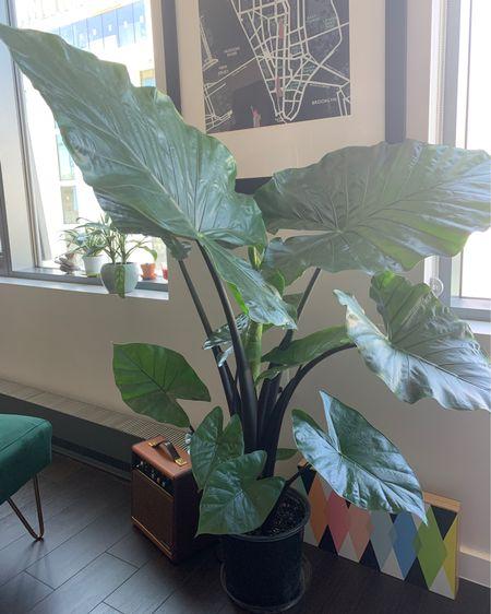 My newest plant babe, Fante 🐘♥️✨  @liketoknow.it  #ihavethisthingwithplants #liketkit #StayHomeWithLTK #LTKhome #LTKunder100 http://liketk.it/2TxBQ