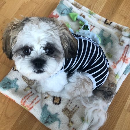 Ralphie's outfit and $7.99 fleece blanket is linked. He doesn't mind wearing this striped number and he took size M. He's a 12.5 pound shih tzu. I bought it for when he will be neutered (maybe end of this month) but it's a really cute outfit. The buttons aren't bad or he's growing up and tolerating a lot more. I found his exact dino plush at TJ Maxx Homegoods. @liketoknow.it http://liketk.it/2ITuQ #liketkit #LTKfamily #LTKunder50 #LTKunder100