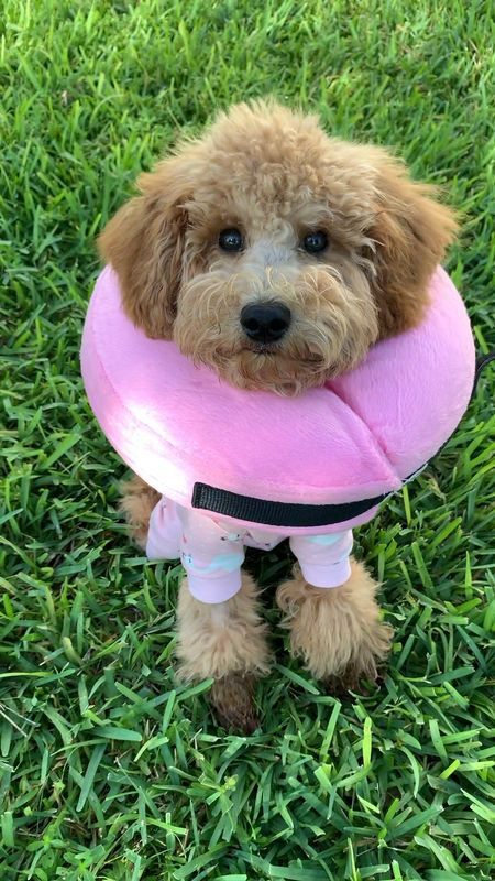 She might look like a circus clown but these two gadgets are awesome for pet surgery recovery and under $35 total.  Mini Doodle Cone is a size medium Suit is a size large    #LTKfamily #LTKunder50 #LTKstyletip