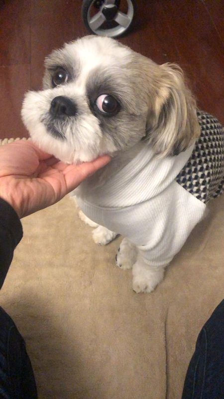 Stylish dog sweater (looks great layered with the jacket I also linked). Ralphie took size M and he's a 15 pound male Shih Tzu. There's an elastic under the belly which is helpful for male dogs so he won't pee on the material. The elastic can make it more difficult to put on the sweater.   #LTKfamily #LTKstyletip #LTKgiftspo