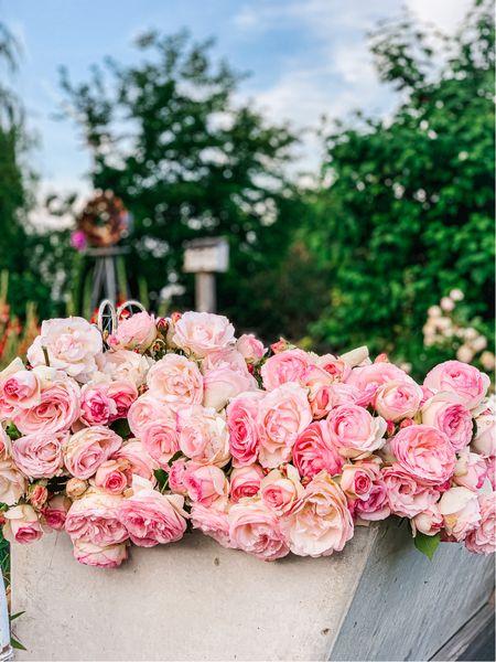 Pink Eden roses. Pink Eden rose bush. Best climbing rose. Father's Day gift for dad. Amazon finds. ❤️🌸   #LTKunder50 #LTKSeasonal #LTKhome