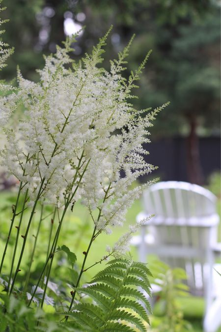 White adirondack chairs by the fire pit 🌲 surrounded by woodland landscaping with flowering astilbe and ferns 🌿 #Adirondack #landscaping   #LTKSeasonal #LTKhome