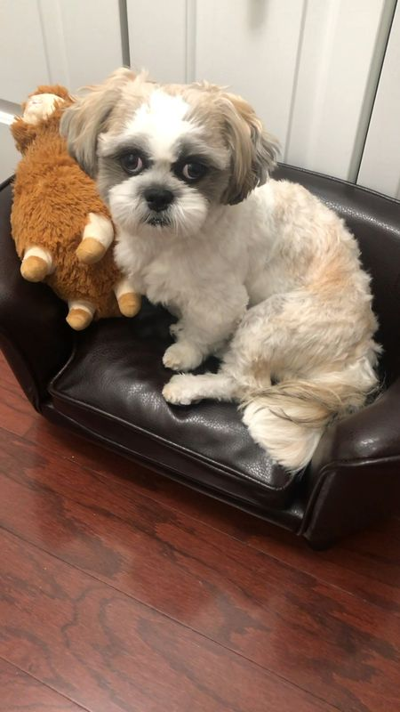 Small dog bed faux leather pet sofa (the faux suede version may be available at Costco for less). Sadly Ralphie didn't like this but sharing this video for size reference. He's a 15 pound male Shih Tzu.  The llama/alpalca plush is often found at T.J. Maxx, Marshalls, Homegoods and Sierra Trading in a small and large size (Ralphie prefers the larger size as shown here). Out of all of his toys this is his baby/favorite toy.   @liketoknow.it http://liketk.it/37RU4 #liketkit   #LTKhome #LTKfamily #StayHomeWithLTK
