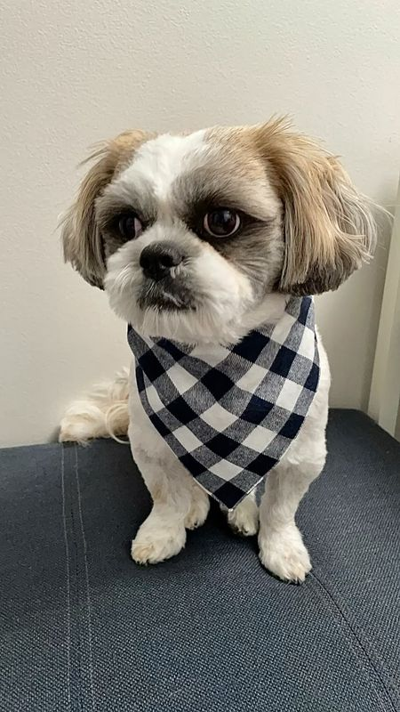 """Love this reversible bandana. It's a thicker material since it's two layers of fabric. Size small is 25"""" long. Ralphie is a Shih Tzu with a 10.5"""" neck so the knot is a bit bigger due to the material but overall it's cute and well made for $8.99 Amazon find.   #LTKSeasonal #LTKunder50 #LTKfamily"""