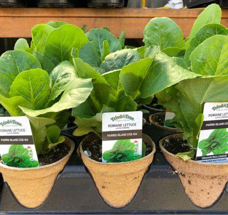 Vegetable Garden 🌶🥬🥕🌽🥒🥦🍅 time to plant veggies! Seedling vegetable plants for the vegetable garden are out at the garden center 🧑🌾😍 #vegetable #vegetablegarden   #LTKSeasonal #LTKhome