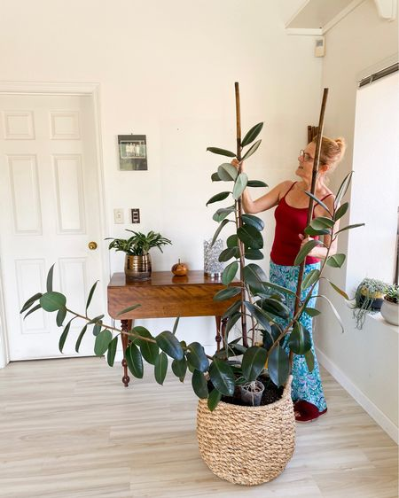 My Rubber Plant is growing like crazy & taking up too much room in my kitchen. These 6' bamboo stakes are sturdy & attractive - job done!  Houseplant, indoor plant, houseplant must haves, houseplant tools, houseplants under 25, amazon finds, found it on amazon, houseplant stakes, bamboo stakes  #LTKhome #LTKunder50