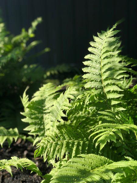 Gardening 🧑🌾 in the woodland garden between the ferns 🌿 #gardening   #LTKhome #LTKSeasonal