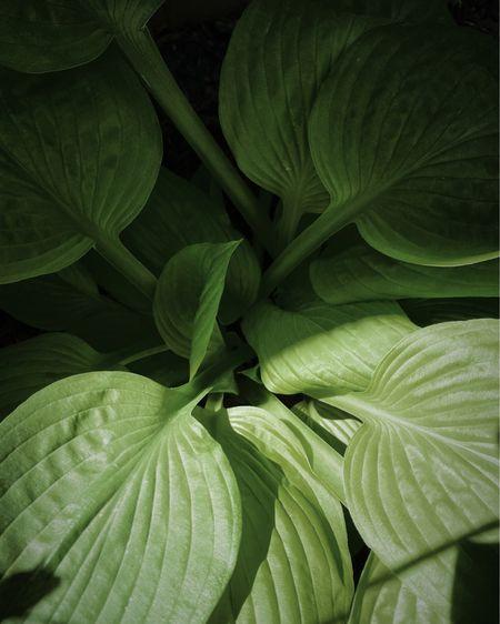 The hostas are leafing out! 🌿  http://liketk.it/3gkRh #liketkit @liketoknow.it #LTKhome #garden #hosta