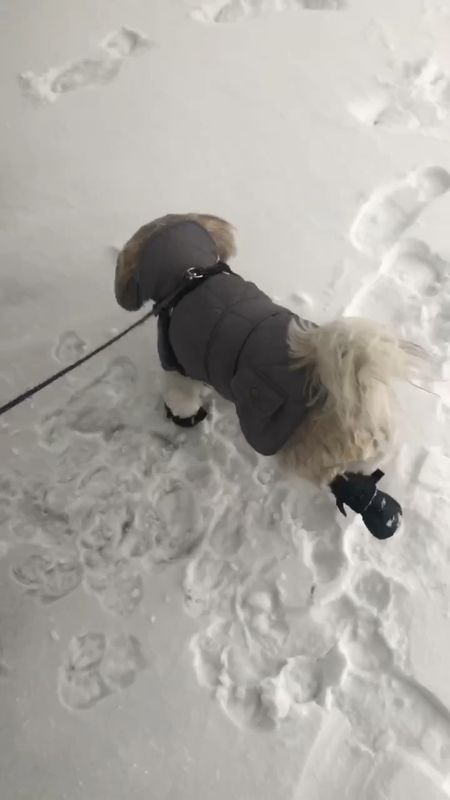 Ralphie took size XS in the snow boots and size M in the jacket.   Dog clothes.   #LTKstyletip #LTKfamily #StayHomeWithLTK